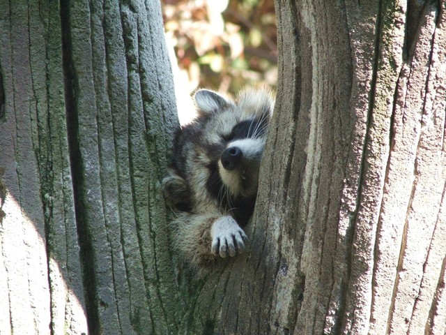 racoon awkwardly asleep in the crook of a tree.